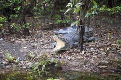 Großes Salzwasser-Krokodil stockfoto