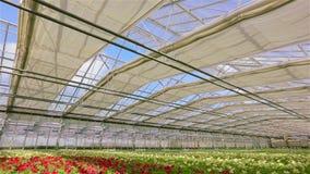 Großes schönes Gewächshaus mit blühendem pitunya, modernes Gewächshaus mit automatischem Glasdach Viele roten Blühens stock video