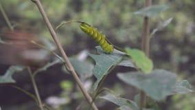 Großes schönes grünes exotisches Gleiskettenfahrzeug, das auf Blatt, Insekten, Entomologie sitzt stock footage
