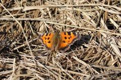 Großes Schildpatt des Schmetterlinges oder Nymphalis polychloros Stockfotografie