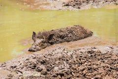 Großes schmutziges schwarzes wildes Schwein, das in den Schlamm legt Stockfotos