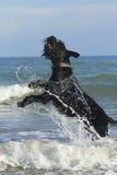 Großes schwarzes Schnauzer-Hundespringen Stockfotografie