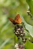 Großes Spangled Fritillaryschmetterlingsporträt auf Milkweedblume, Stockfotos