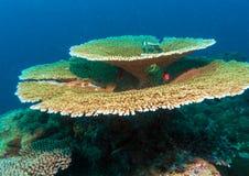 Großes Tabellenkorallen Acropora pulchra, Malediven Stockbild