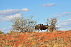 Großes Tier im Naturlebensraum, Wüste Namibias, Kalahari Stockfotos