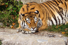 Großes Tigerkatzenschlafen Lizenzfreie Stockfotografie