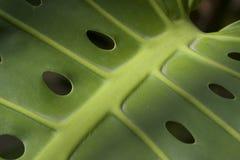 Großes tropisches Blatt mit Löchern Lizenzfreie Stockfotos