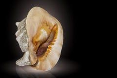 Großes tropisches Seeoberteil-Cassis cornuta auf einem schwarzen Hintergrund Stockfotografie