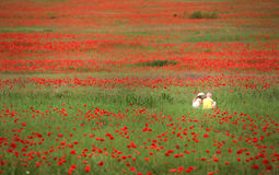 Großes und dichtes Mohnblumenfeld mit kleinen Kindern Lizenzfreie Stockbilder
