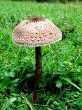Großes und einsames Pilz Macrolepiota-procera auf dem Gebiet Lizenzfreie Stockbilder