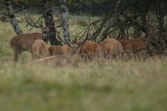 Großes und schönes Rotwild während der Rotwildfurche im Naturlebensraum in der Tschechischen Republik Lizenzfreie Stockfotografie