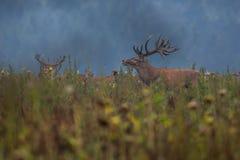 Großes und schönes Rotwild während der Rotwildfurche im Naturlebensraum in der Tschechischen Republik Stockfoto