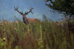 Großes und schönes Rotwild während der Rotwildfurche im Naturlebensraum in der Tschechischen Republik Lizenzfreies Stockfoto