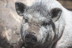 Großes vietnamesisches Schwein Lizenzfreie Stockbilder