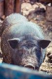 Großes vietnamesisches Schwein Stockfotos
