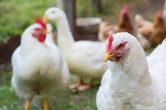 Großes weißes Huhn auf Bauernhof lizenzfreies stockbild