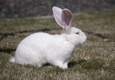 Großes weißes Kaninchen Lizenzfreies Stockfoto