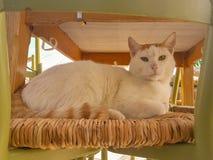 Großes weißes Katzenporträt, das auf einem Stuhl sitzt Lizenzfreies Stockfoto
