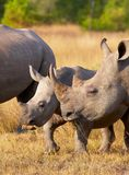 Großes weißes Nashorn Lizenzfreies Stockfoto