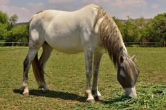 Großes weißes Pferd Stockbilder
