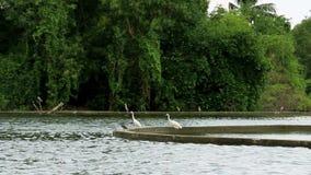 Großes weißes Reiher Egrettagarzetta oder -Silberreiher, die nach Fischen und Fröschen in einem grünen Sumpf suchen stock footage