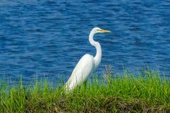 Großes weißes Reiher Padnaram-Grün-Salzwasser Marsh Dartmouth Mass Lizenzfreie Stockfotos