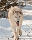 Großes Wolfgehen stockfotografie