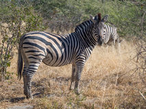 Großes Zebra, das in Richtung zum Fotografen auf Safari in Nationalpark Moremi, Botswana, Afrika anstarrt Lizenzfreie Stockfotos
