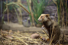 Großhamster (Cricetus Cricetus) mit einem Weizenstamm Lizenzfreie Stockfotos