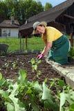 Großmutter, die Gemüse pflanzt Lizenzfreie Stockfotos