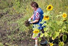 Großmutter reißt das Gras im Garten auseinander stockfotos