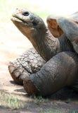 Großvater-Schildkröte stockfoto