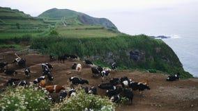 Große Herde von Kühen lässt auf einer schönen Wiese nahe einem felsigen Ufer weiden, welches das Meer übersieht stock footage