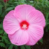 Große rosa Blume Hibiscus stieg die Malve, die als Zierpflanzen kultiviert wurde lizenzfreie stockfotografie