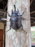 Großer schwarzer Amazonas-Käfer Peru stockfotos