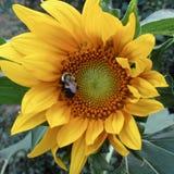 Großes gelbes Sonnenblume Helianthus annus mit Hummel Bombus spp lizenzfreie stockfotografie