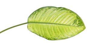 Großes grünes Blatt von tropische Anlagendieffenbachia seguine oder von stummem Stock lokalisiert auf weißem Hintergrund stockbild