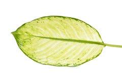 Großes grünes Blatt von tropische Anlagendieffenbachia seguine oder von stummem Stock lokalisiert auf weißem Hintergrund lizenzfreie stockfotografie