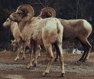 Gro?e Hupen-Schafe stockbilder