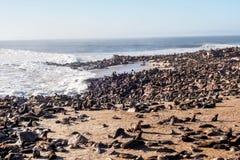 Gro?e Kolonie von S?dafrikanischer Seeb?ren am Kapkreuz in Namibia stockbild