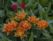 Gro?e Lichtung punktiert mit den mehrfarbigen Tulpen beleuchtet durch den hellen Sonnenschein stockbilder
