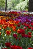 Gro?e Lichtung punktiert mit den mehrfarbigen Tulpen beleuchtet durch den hellen Sonnenschein stockfoto