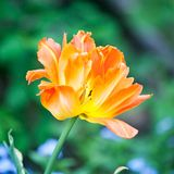 Gro?e orange Tulpenblumen-Nahaufnahmeansicht stockfotografie