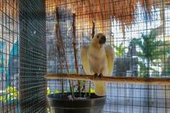 Gro?er wei?er Papagei Kakaktua tanimbar oder goffin Kakadu Cacatua goffiniana Vogel im Käfig auf Spitzenbiss der Draht Tropische  lizenzfreie stockfotografie