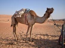 Gro?es Kamel in der W?ste lizenzfreie stockbilder