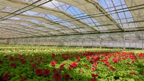 Gro?es modernes Gew?chshaus f?r wachsende Blumen Modernes automatisiertes Glasdach in einem Gew?chshaus vor dem hintergrund stock video footage