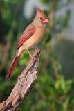 Großartige Fotografie des weiblichen Kardinals Lizenzfreie Stockfotos
