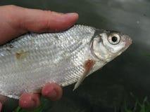 Grobes Fischen für Brachsen Stockfoto