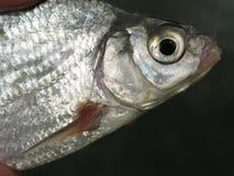 Grobes Fischen für Brachsen Stockfotos