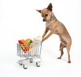 Grocery Shopping. A tiny chihuahua shopping for groceries Stock Photography
